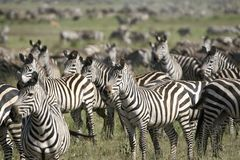 Burchell's zebra (Equus burchelli) Stock Photo