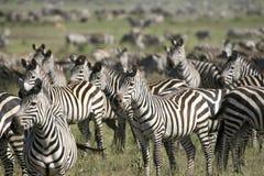 Burchell's zebra (Equus burchelli). Zebra (Equus burchelli) in the great migration Stock Photo