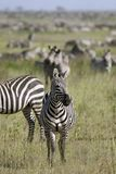 Burchell's zebra (Equus burchelli) Royalty Free Stock Photography
