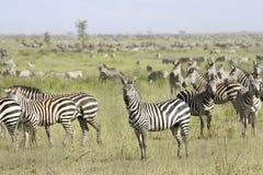 Burchell's zebra (Equus burchelli). Zebra (Equus burchelli) in the great migration Royalty Free Stock Images