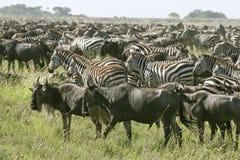 Burchell's zebra (Equus burchelli) Stock Photography