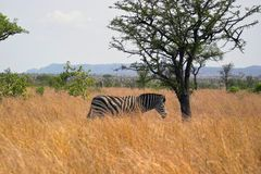 Burchells Zebra [Equus burchelli]. On the plains in Kruger National Park, South frica Stock Photos