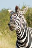 Burchells zebra (Equus quagga burchellii). Burchells Zebra [Equus burchelli] smelling in Kruger National Park, South Africa Stock Photography