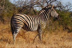 Burchell's Zebra (Equus burchellii). Is the most common type of zebrid mammal with a white\black coloring (South Africa Royalty Free Stock Photography