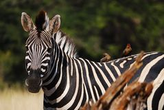 Burchell's Zebra (Equus burchellii) Royalty Free Stock Photos