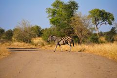 Burchell's Zebra (Equus burchellii). Crossing the gravel road (South Africa Royalty Free Stock Photography