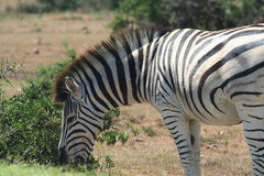 Burchell's zebra (Equus burchellii) close-up. Close-up of Burchell's zebra (Equus burchellii) grazing Stock Photo