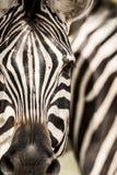 Burchell, 's zebra ''Burchell, 's zebra ', Equus kwaga burchellii obraz royalty free