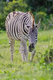 Burchell's zebra (equus quagga). At Addo Elephant Park in South Africa Stock Photography