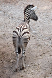 Burchell's zebra (Equus quagga burchellii). Royalty Free Stock Photography