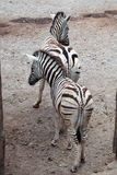 Burchell's zebra (Equus quagga burchellii). Royalty Free Stock Photo