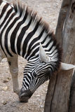 Burchell's zebra (Equus quagga burchellii). Royalty Free Stock Images