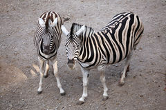 Burchell's zebra (Equus quagga burchellii). Royalty Free Stock Photography