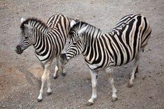 Burchell's zebra (Equus quagga burchellii). Royalty Free Stock Image