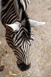 Burchell's zebra (Equus quagga burchellii). Stock Photography