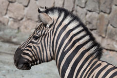 Burchell's zebra (Equus quagga burchellii). Stock Photo