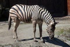 Burchell's zebra (Equus quagga burchellii). Royalty Free Stock Photos
