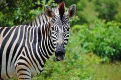 Burchell's zebra (Equus quagga burchellii) Stock Photo