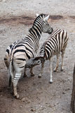 Burchell's zebra (Equus quagga burchellii) feeding its foal. Royalty Free Stock Photo