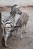 Burchell's zebra (Equus quagga burchellii) feeding its foal. Stock Image