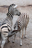 Burchell's zebra (Equus quagga burchellii) feeding its foal. Stock Images