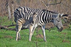 Burchell's zebra (Equus quagga burchellii) Royalty Free Stock Photo