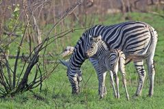 Burchell's zebra (Equus quagga burchellii) Royalty Free Stock Photography