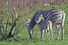 Burchell's zebra (Equus quagga burchellii) Royalty Free Stock Photography