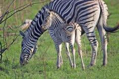 Burchell's zebra (Equus quagga burchellii) Stock Images
