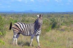 Burchells zebra (Equus quagga burchellii). In Kruger National  Park, South Africa Stock Photography