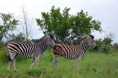 Burchell's zebra (Equus quagga burchellii) Stock Photography