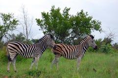 Burchell's zebra (Equus quagga burchellii). In Kruger National Park, South Africa Stock Photography