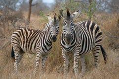 Burchell's zebra (Equus quagga burchellii). In Kruger National Park, South Africa Stock Images