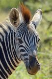 Burchell's zebra (Equus quagga burchellii). In Kruger National Park, South Africa Royalty Free Stock Image