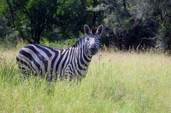 Burchells zebra (Equus quagga burchellii). Stock Photo