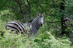 Burchells zebra (Equus quagga burchellii). Royalty Free Stock Photography