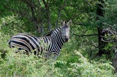 Burchells zebra (Equus quagga burchellii). Burchells zebra (Equus quagga burchellii) in Kruger National Park, South Africa Royalty Free Stock Photography