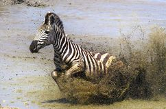Burchells zebra (Equus quagga burchellii). Royalty Free Stock Photos