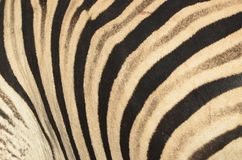 Burchell's zebra (Equus quagga burchellii) Stock Image