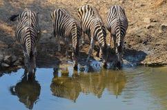 Burchell's zebra (Equus quagga burchellii). In Kruger National Park, South Africa Stock Image