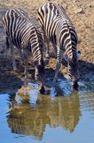 Burchell's zebra (Equus quagga burchellii). In Kruger National Park, South Africa Royalty Free Stock Photography