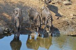 Burchell's zebra (Equus quagga burchellii). In Kruger National Park, South Africa Stock Photo