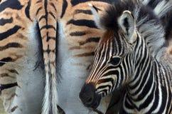 Burchell's zebra (Equus quagga burchellii). In Kruger National Park, South Africa Royalty Free Stock Photos