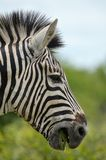 Burchell s zebra (Equus quagga burchellii). Royalty Free Stock Images