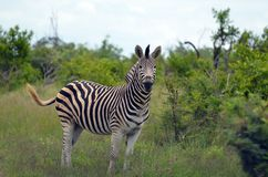 Burchell s zebra (Equus quagga burchellii). Stock Photos