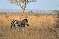 Burchell s zebra (Equus quagga burchellii) Stock Photo