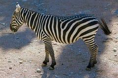 Burchell`s zebra Equus quagga burchellii Royalty Free Stock Photography