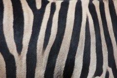 Burchell's zebra (Equus quagga burchellii). Skin texture. Stock Image