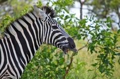 Burchell's zebra (Equus quagga burchellii) Royalty Free Stock Photo