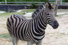 Burchell's Zebra. Stock Photo